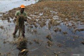 15 hektar sawah rusak disapu banjir besar di Labuhanbatu Utara