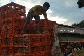 Harga ayam potong di Rejang Lebong beranjak naik Rp16.000/kg