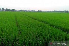 116 hektare lahan pertanian di Solok Selatan dicover asuransi