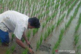 Petani Purwakarta diimbau maksimalkan sumber air