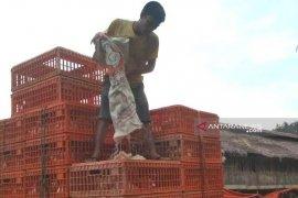 Peternak ayam potong mulai bergairah seiring peningkatan harga