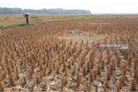 Pertani Bekasi diimbau tunda tanam padi