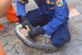 Warga Kepulauan Seribu dikejutkan ditemukannya  tiga ekor ular sanca