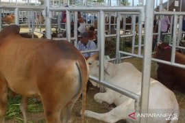 Ikut Expo Ternak, ratusan sapi dari berbagai daerah sudah tiba di Abdya