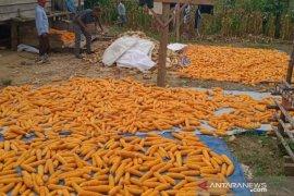 Petani pedalaman Aceh Utara panen jagung, harga jual naik