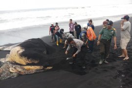 BPSPL Denpasar dukung polisi dan warga kubur bangkai paus di Lumajang