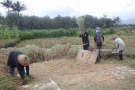 Petani Rejang Lebong kembangkan padi varietas lokal