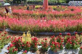 Agrowisata taman bunga celosia