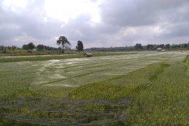 Kekeringan di Jambi ancam ribuan hektare sawah