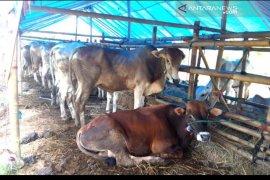 Permintaan hewan kurban di Tanah Bumbu menurun.