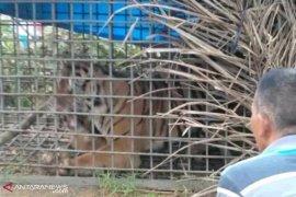 Harimau pemangsa warga akhirnya terperangkap