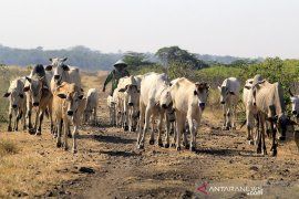 Target populasi sapi nasional