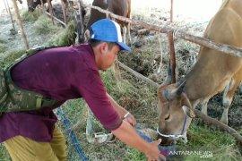 Harga sapi kurban di Banjarbaru naik signifikan, permintaan tetap tinggi