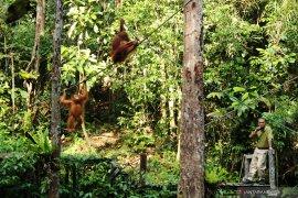 Orangutan Semenggoh Wildlife Centre