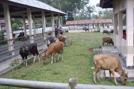 Penjualan hewan kurban di Rejang Lebong turun