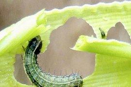 FAO ingatkan Kalbar waspada serangan ulat jagung asal Amerika