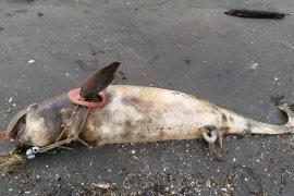 Ikan lumba-lumba mati di perairan Kwala Besar Secanggang Langkat