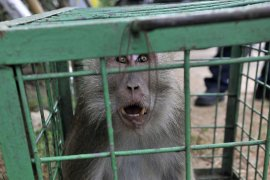 Monyet Masuk Pemukiman