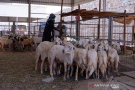 Jemaah haji Indonesia berburu kambing untuk bayar dam