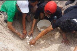 Warga pesisir Tulungagung tangkarkan telur penyu langka