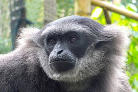 """Bali Zoo"" lepasliarkan Owa Jawa ke Situ Patengan-Jabar"