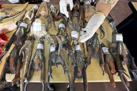 Identifikasi barang bukti tanduk Kijang Mutjak