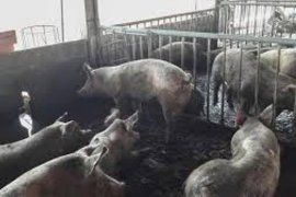 Waspada flu babi di Indonesia, ini imbauan Kementan