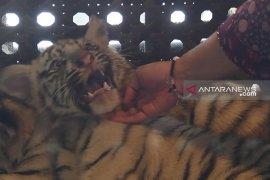 Tiga bayi harimau Taman Safari Prigen terbilang istimewa (Video)