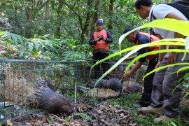 Enam Landak Jawa huni Taman Alam Danau Buyan-Buleleng