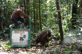 Delapan orangutandilepasliarkan ke TNBBBR Katingan