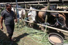 Apsaku Malut khawatir terjadi kelangkaan stok daging sapi