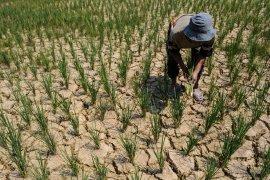 Sawah petani di Bengkulu mengalami kekeringan
