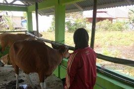Satpol Mukomuko sanksi denda warga lepasliarkan ternak