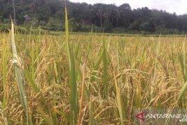 Pemprov Babel asuransikan 8.500 hektare padi sawah