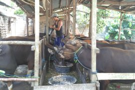 Penjualan hewan qurban di Jambi  rendah, masih ada sepekan lagi