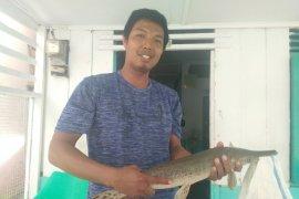 Warga Rantauprapat dapat ikan 'aligator' di Sungai Bilah