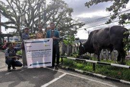 PLN UIP Maluku Salurkan sembilan hewan kurban