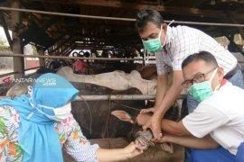 Pakar: Perlakuan pada hewan kurban pengaruhi cita rasa  daging