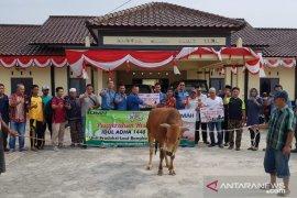 PT Timah bagikan 112 ekor sapi kurban untuk masyarakat Bangka Belitung