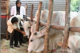 Pemprov Babel kerahkan tim terpadu awasi pemotongan hewan kurban