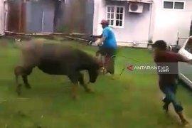Hendak disembelih, hewan kurban mengamuk dan seruduk warga di Meulaboh