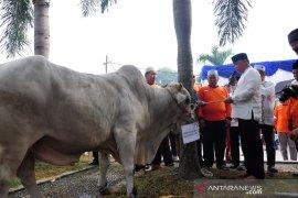 ASN Pemko Pekanbaru kumpulkan 11 sapi kurban