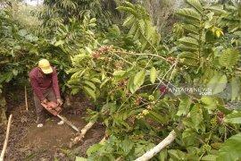 Harga jual terus anjlok, sejumlah petani Rejang Lebong tebangi tanaman kopi