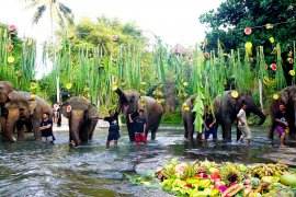 "Hari Gajah, gajah ""Bali Zoo"" santap 300 kilogram buah-buahan"
