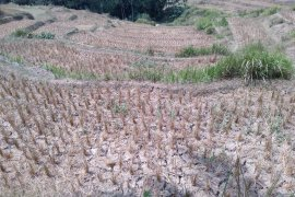 123 hektare sawah di Karawang alami puso