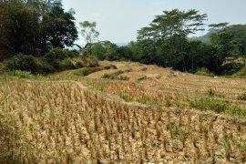Lebih dari 5.000 hektare sawah di Karawang dilanda kekeringan