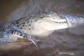 Warga temukan buaya terlilit jaring ikan