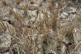 Ratusan hektare sawah di Mesuji kekeringan Page 3 Small