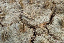 Ratusan hektare sawah di Mesuji kekeringan Page 1 Small