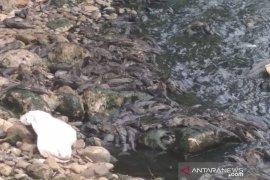 Ombudsman RI temukan ada ratusan ikan sapu-sapu mati di Sungai Cileungsi, apa penyebabnya?